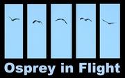 19th Jul 2016 - Osprey in Flight!