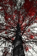 7th Jul 2016 - Red Tree