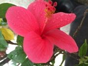 18th Jul 2016 - Hibiscus Flower