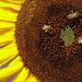 sunflower series 3