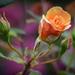 ~A Beautiful Rose~ by crowfan