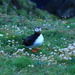 Puffin by lifeat60degrees