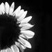 sunflower series 4