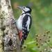 Woodpecker (female) by susiemc