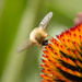 hoverfly by aecasey