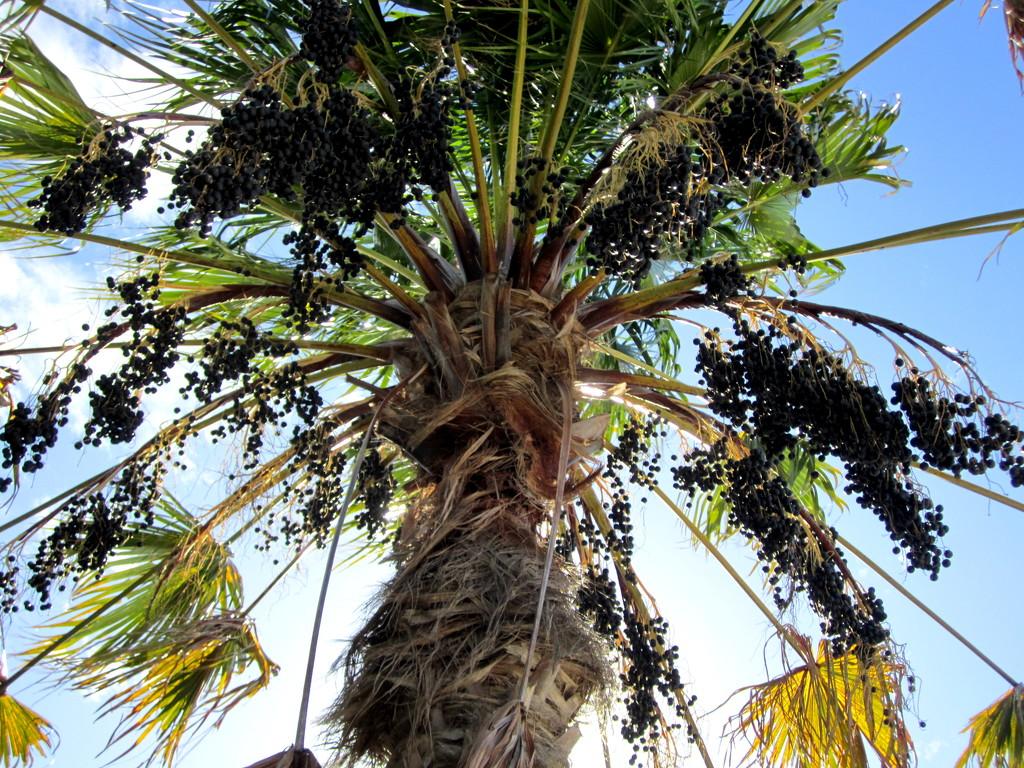 Palm Tree laden with fruit.  Sunshine Coast by 777margo