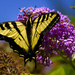 Swallowtail Spreads His Wings