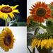 Sunflower Garden by dsp2