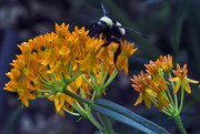 24th Jul 2016 - Only Visitor to the Milkweed