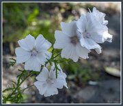 25th Jul 2016 - White Flowers
