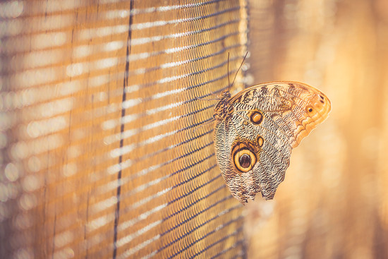 Common Owl Butterfly by pflaume