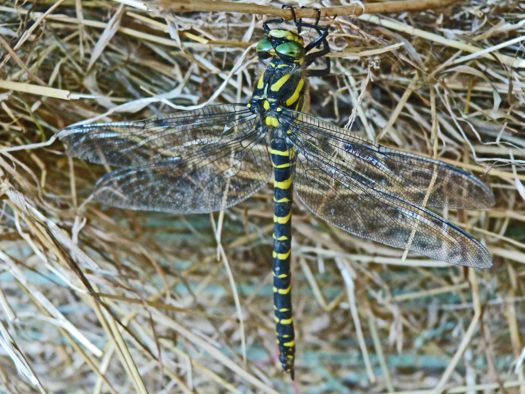 Dragonfly by shirleybankfarm