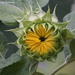Sunflower to Be