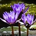 Purple water lilies by yorkshirekiwi