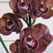 chocolate orchid? by koalagardens