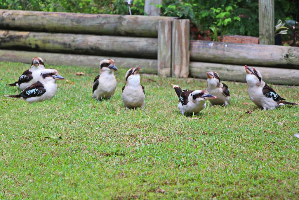 A Chuckle of Kookaburras? by terryliv