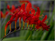26th Jul 2016 - Crocosmia Lucifer
