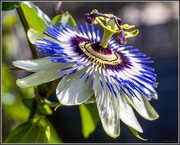 27th Jul 2016 - Passion Flower