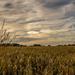 Wheat and Sundog  by rjb71