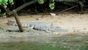 14th Jul 2016 - Daintree River Crocodile