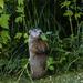 Groundhog - Whistle Pig - Woodchuck