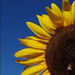 sunflower series 6