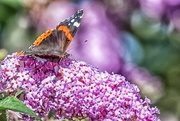 28th Jul 2016 - 2016 07 28 Butterfly - at last!!