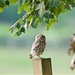 Little Owl by padlock