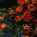 Sweatheart roses by loweygrace