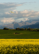 29th Jul 2016 - Yellow Plane over the Canola