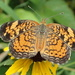Gorgone Checkerspot by cjwhite