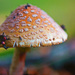 Front yard 'shroom by dianen