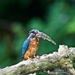 Male Kingfisher with Stickleback by padlock