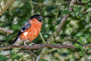 29th Jul 2016 - 2016 07 29 Bull Finch