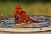 29th Jul 2016 - The True Mr. Cardinal