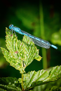 30th Jul 2016 - 2016 07 30 Blue Damselfly