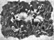 29th Jul 2016 - Weeds on Paper