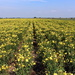 A field with Oenothera `s. ( Primrose)
