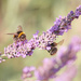 Busy Bees by shepherdmanswife