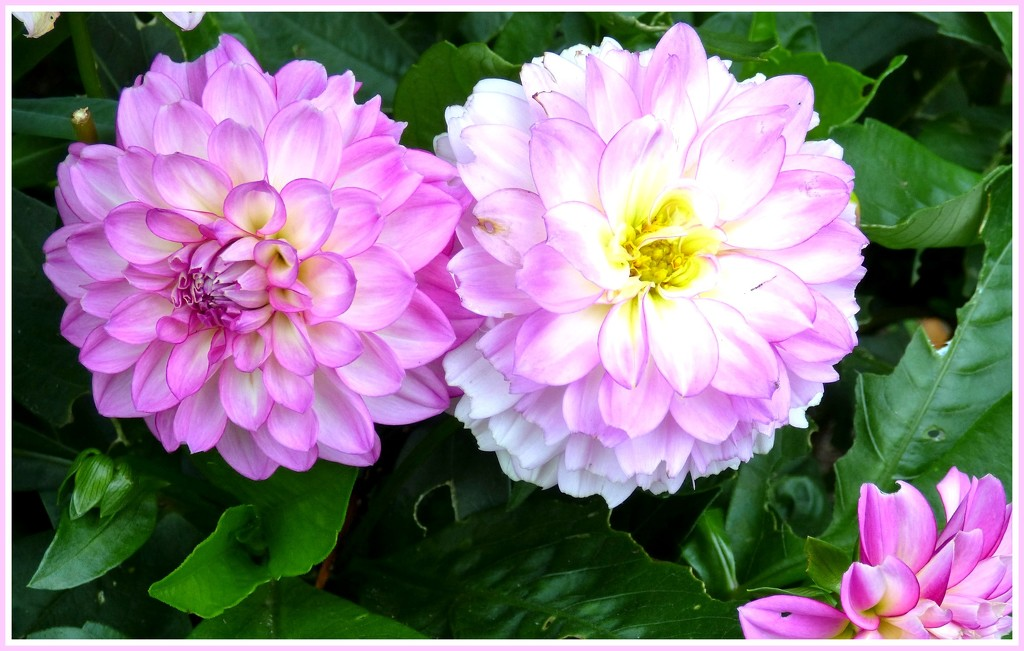 In the pink ! by beryl