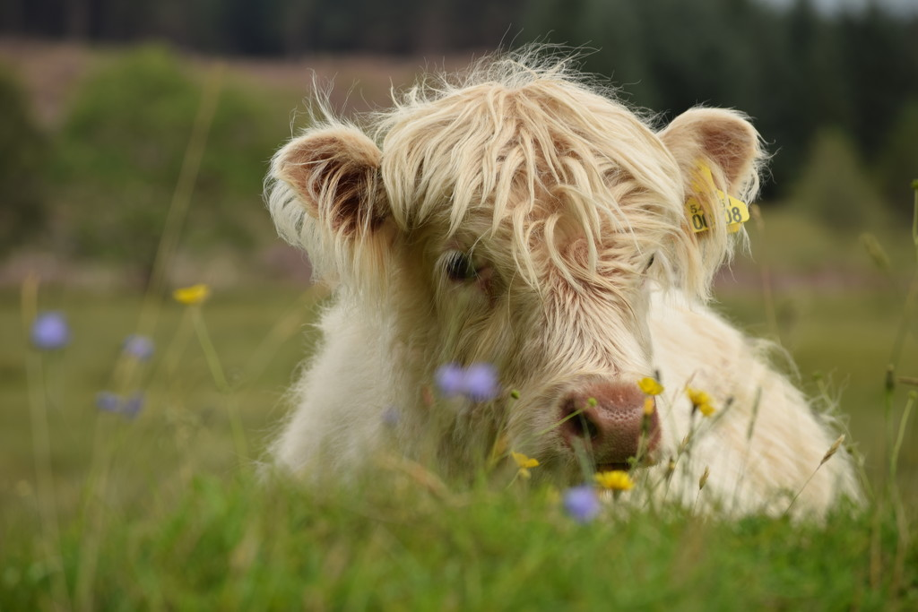 calf and flowers by christophercox