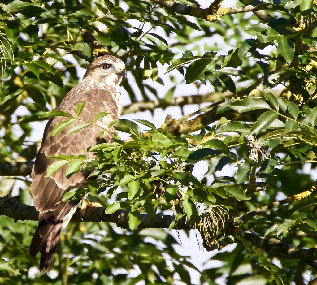 Buzzard by padlock