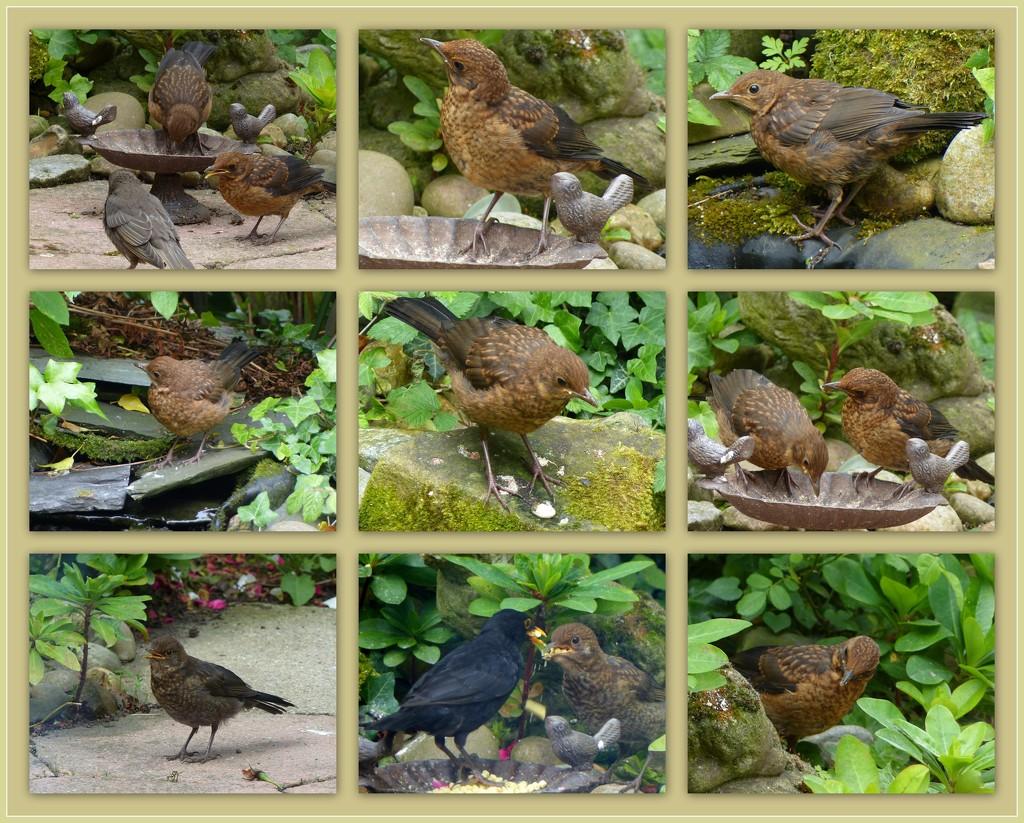 Our blackbird family by judithdeacon