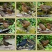 Our blackbird family