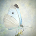 Fast white butterfly....