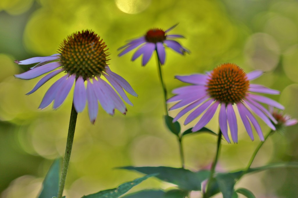 coneflowers in the morning by lynnz