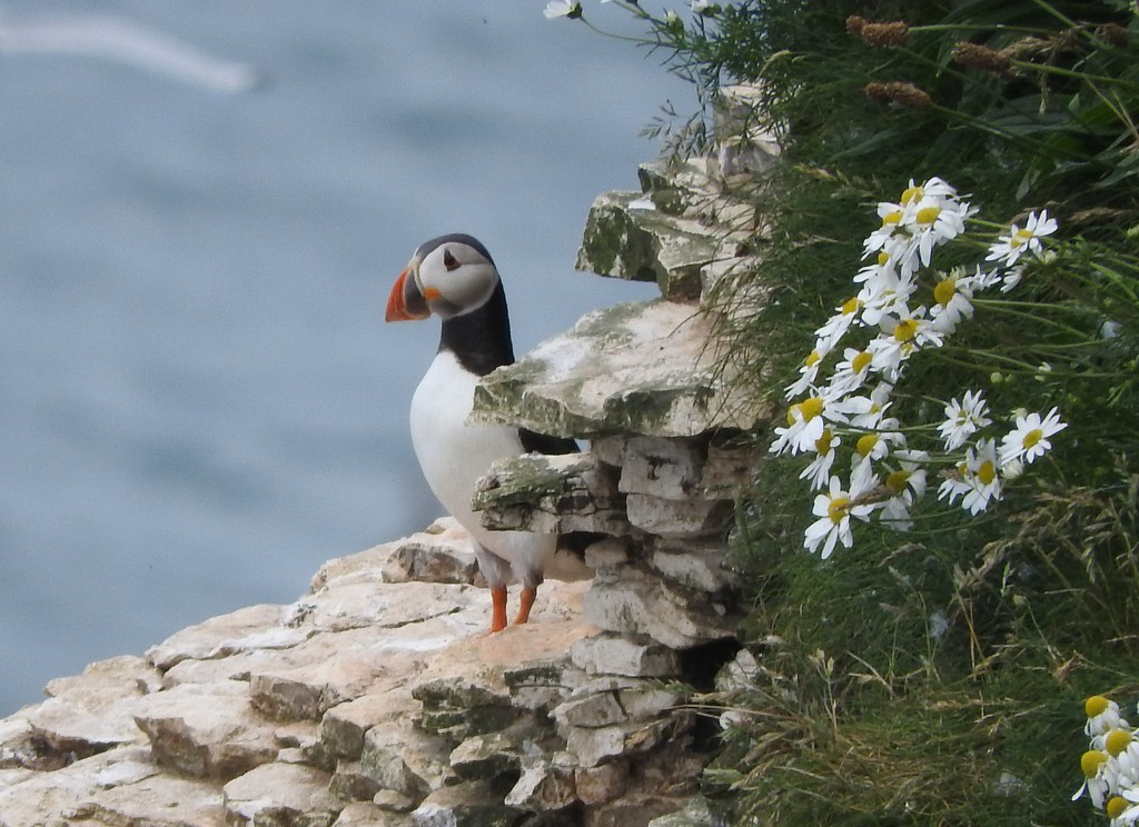 Puffin by oldjosh