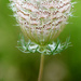 Queen Anne's Lace by fayefaye