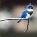 Belted kingfisher by mjalkotzy