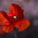 Poppy by taffy